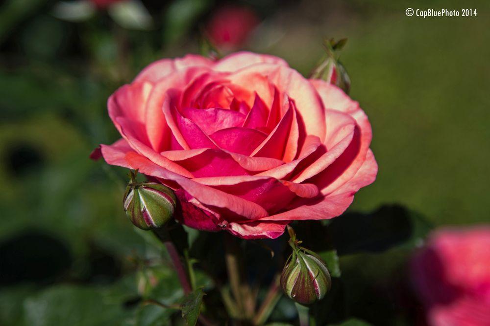 Rose Rosengarten Beutig Baden Baden