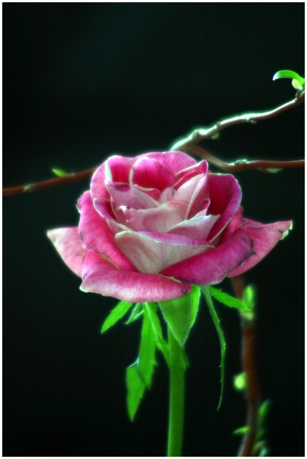 Rose rot-weiss