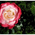 Rose rot weiss .......