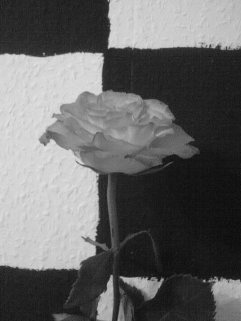 Rose schwarz-weiß