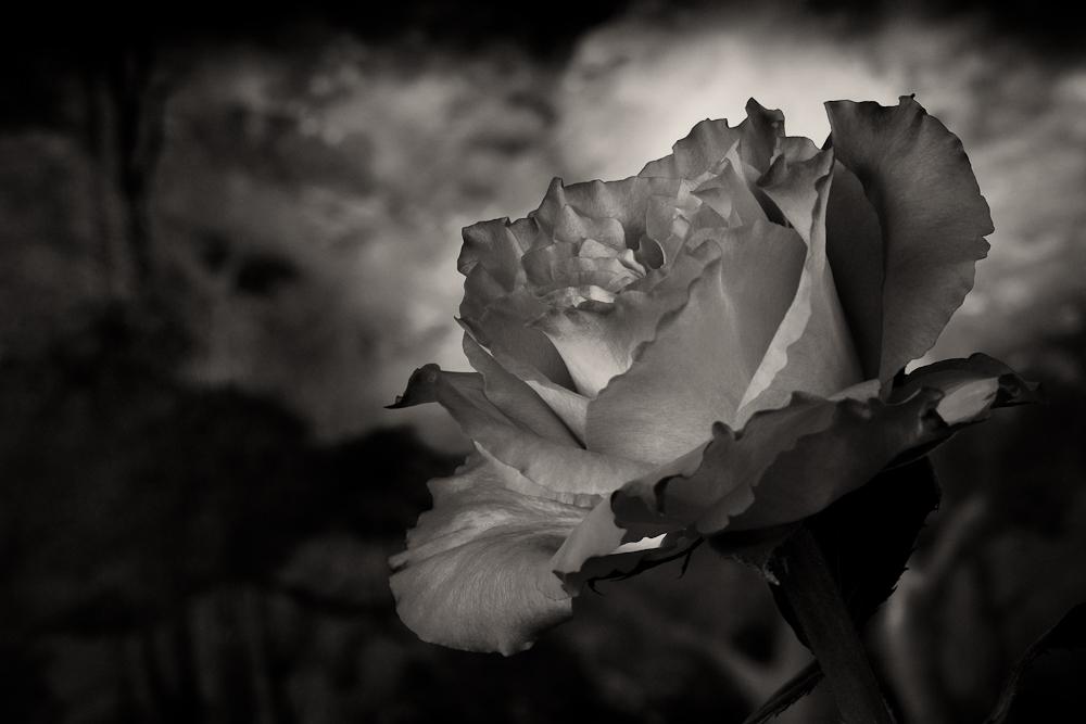 rose schwarz weiss foto bild fotokunst monochrome fine art rosen bilder auf fotocommunity. Black Bedroom Furniture Sets. Home Design Ideas
