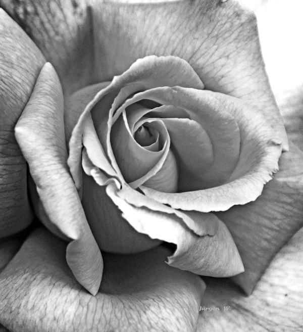 Rose schwarz/weiß