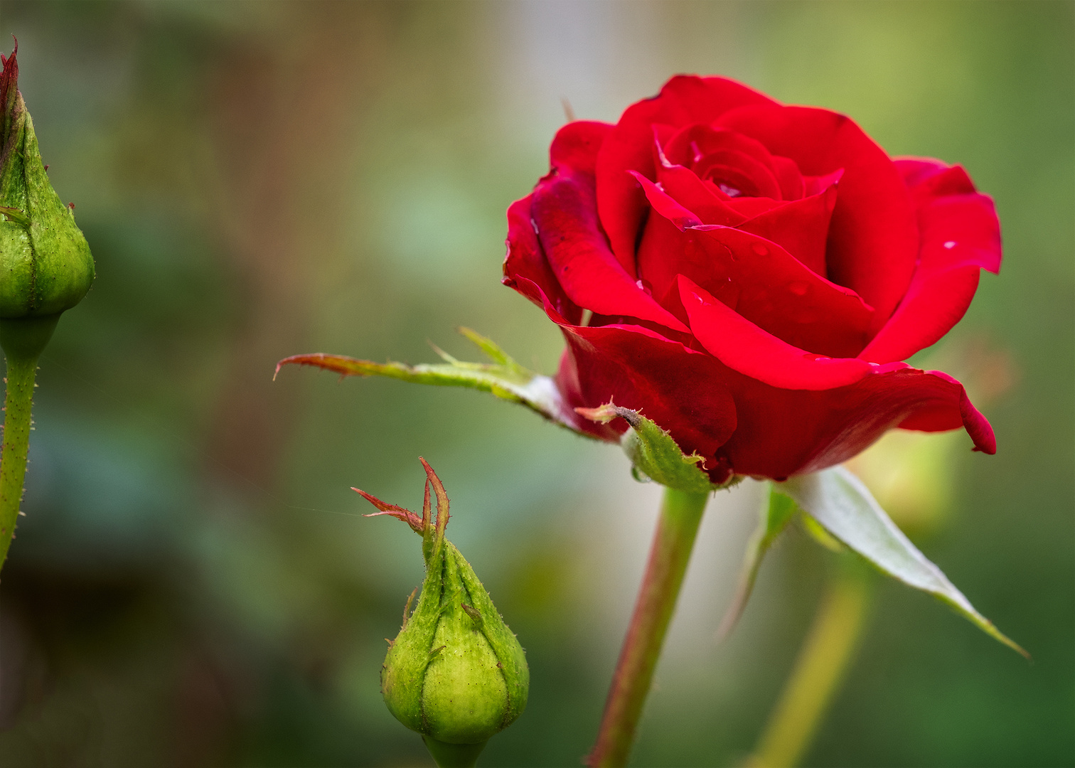 Rose sehr rot
