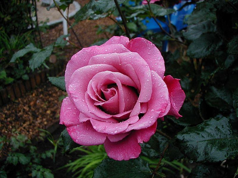Rose Shocking blue> Floribunda > magentalila
