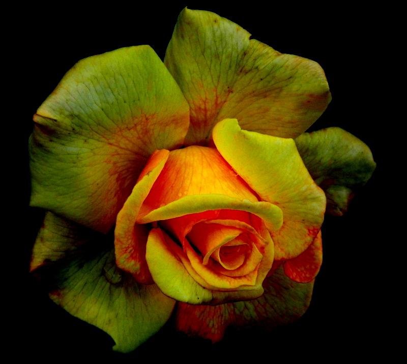 Rose stark bearbeitet.
