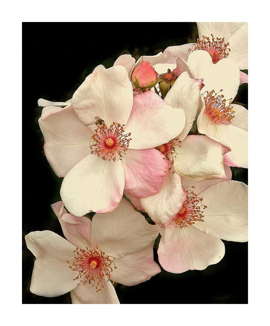 Rose -Sweet Pretty-