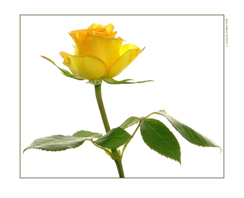 Rose, tagsüber
