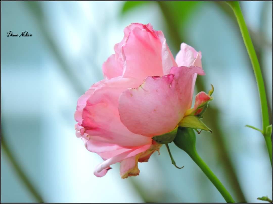 Rose tout court