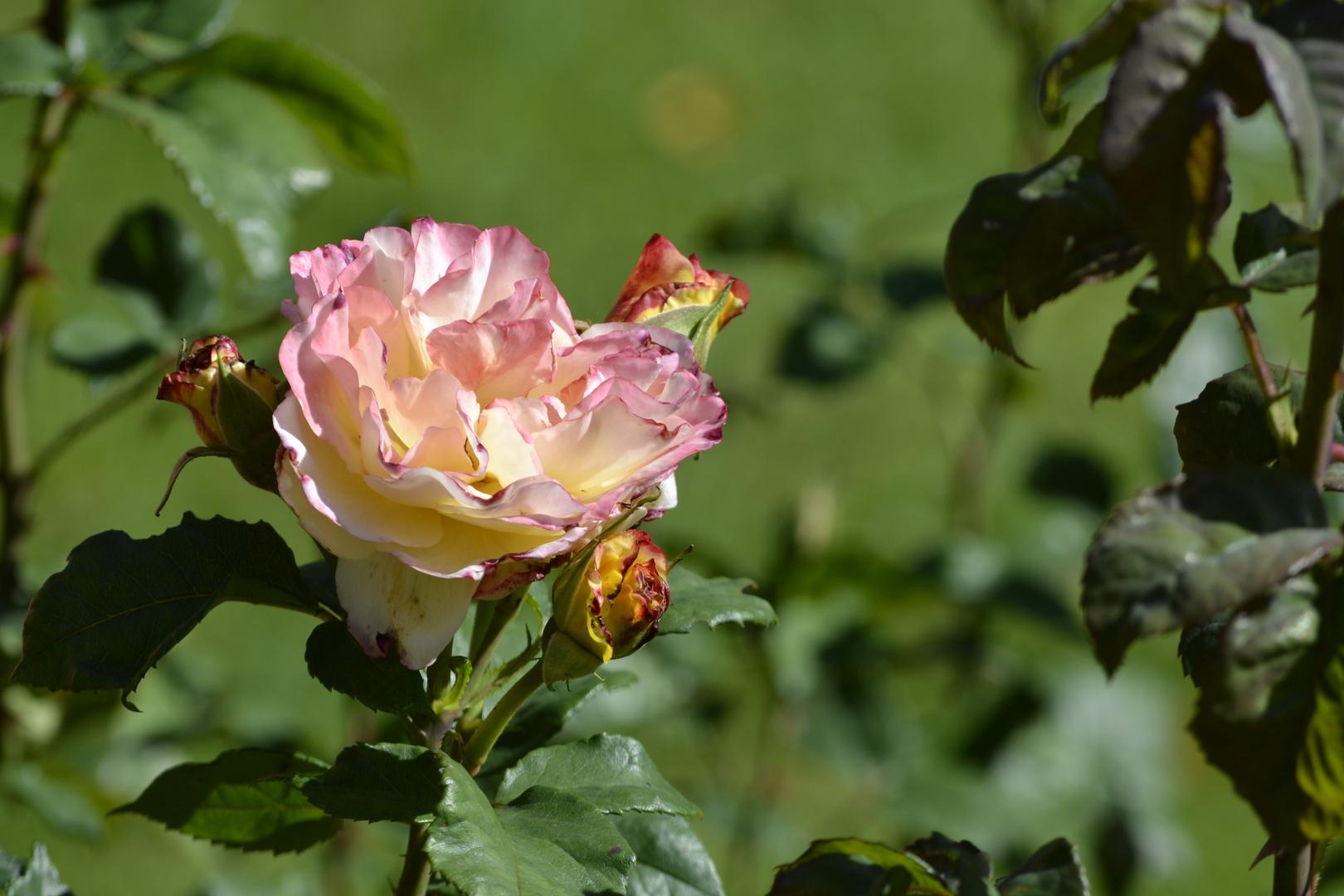 Rose + Trio