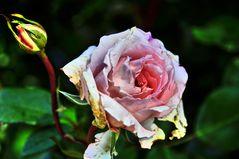 Rose und Knope