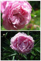 Rose und Pfingstrose
