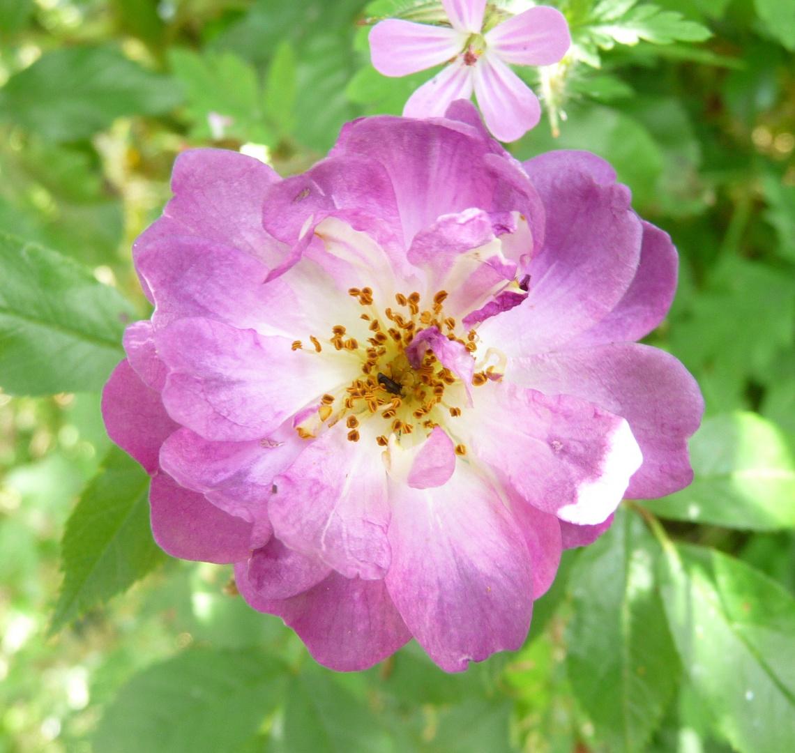 Rose Veilchenblau