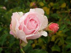 Rose verregnet