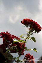 Rose vor wolkigem Himmel