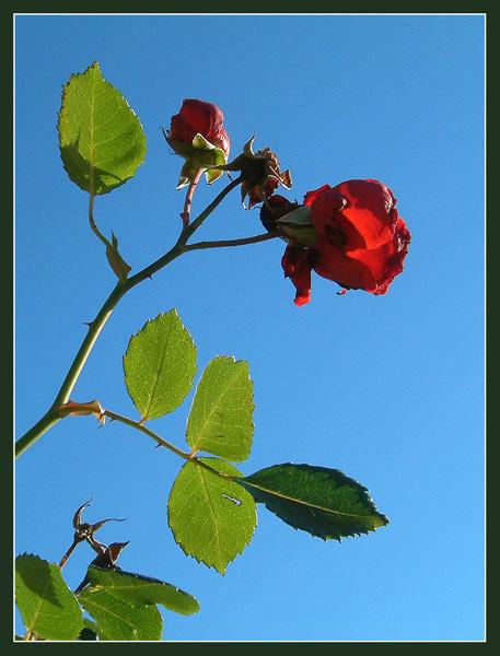 Rose vor zartblauem Winterhimmel