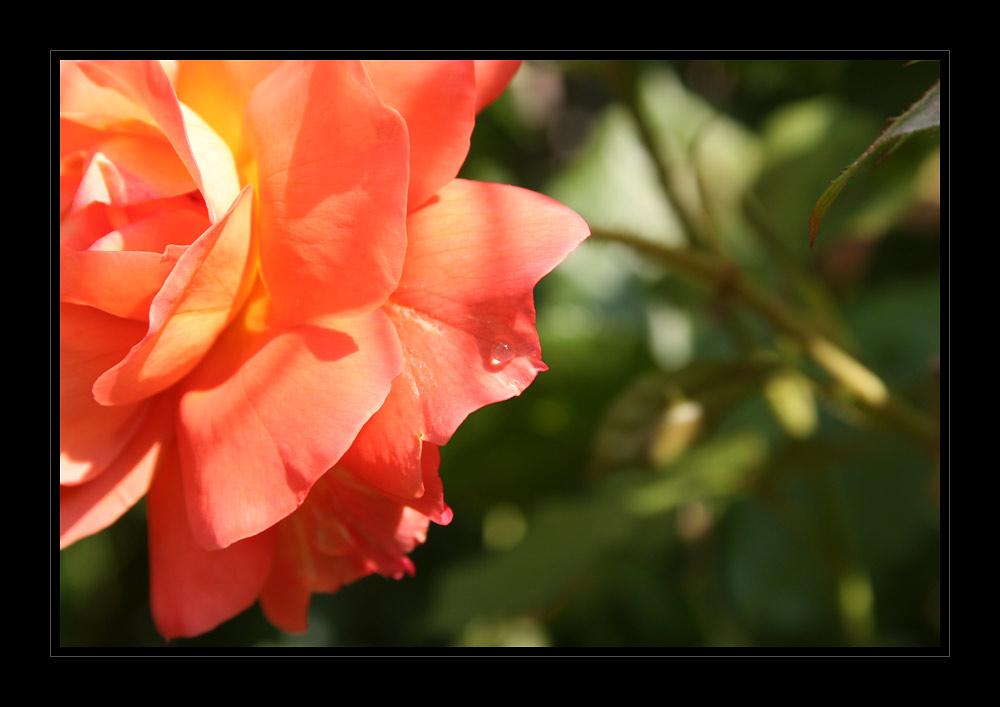 *Rose - Westerland* mit Tropfen