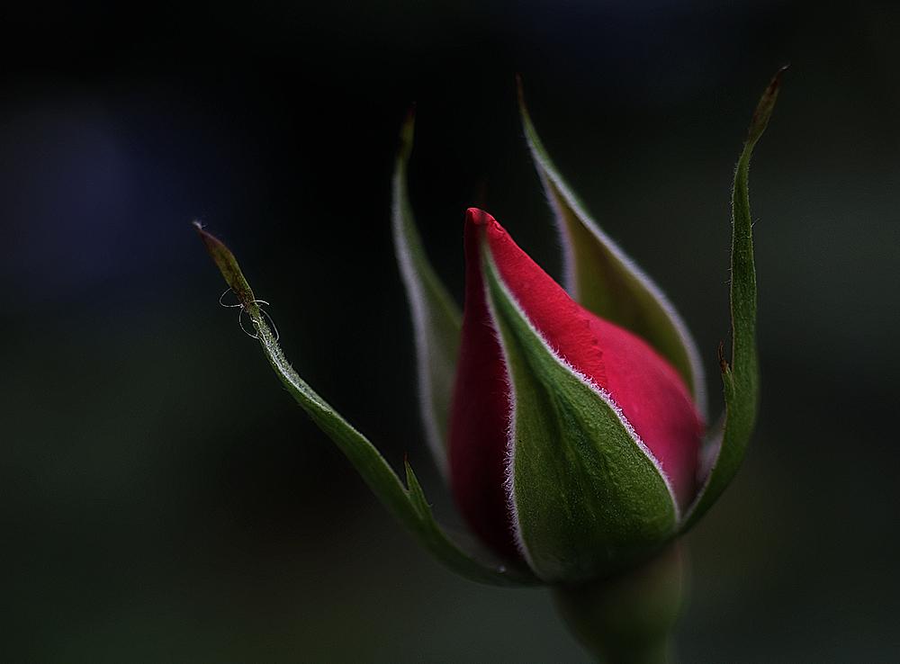 Rose wie Romantik