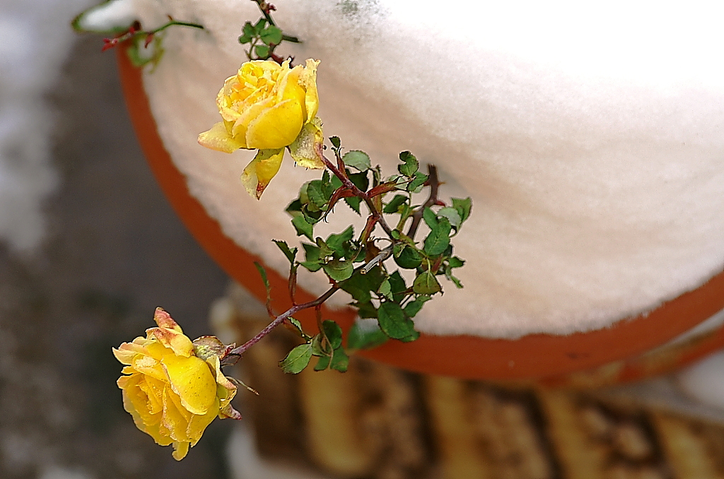 Rose with ice.