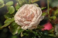 Rose zart
