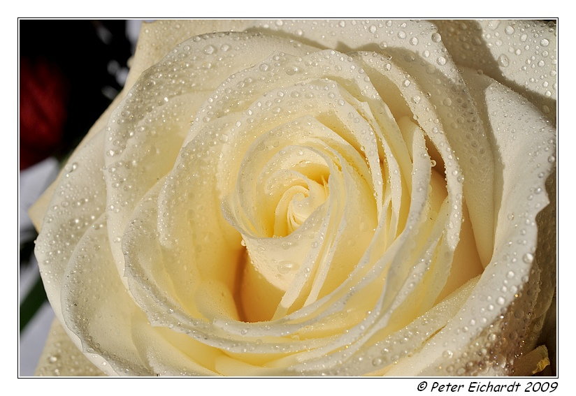 Rose - zum dritten