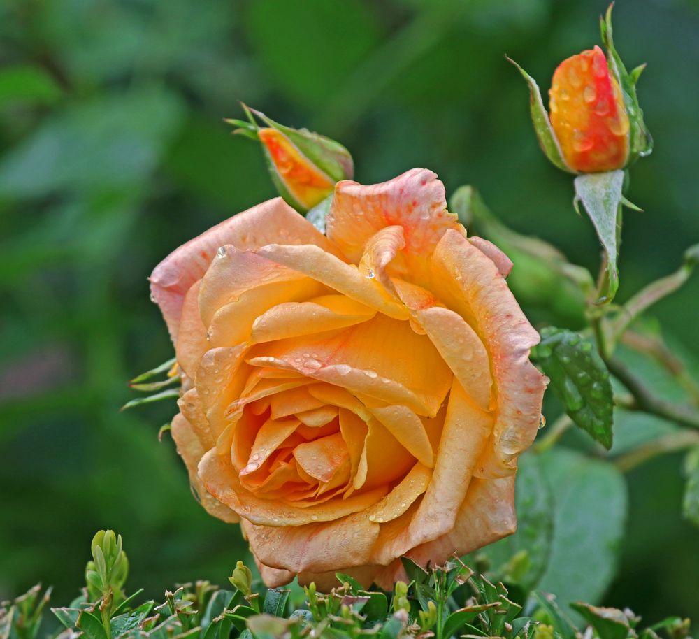 Rose zum Geburtstag