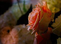Rose zum Wochenende