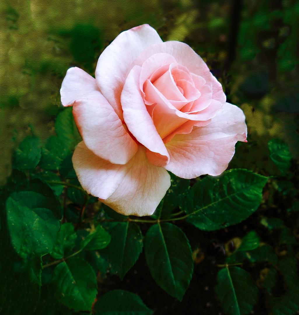 Rose zur Adventzeit