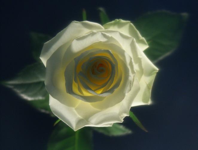 Rose_01_weiss-gelb