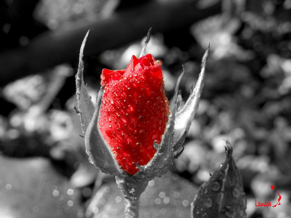 Rose1 Laraso