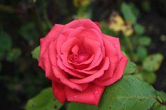 rose_1351