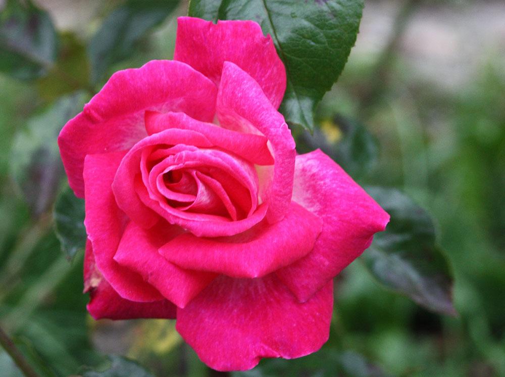 Rose_3060