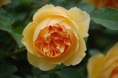 Rose/Blau