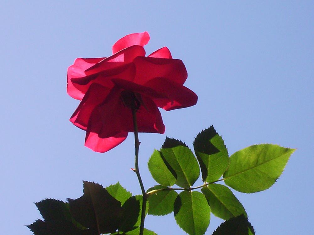 Roseira Materna
