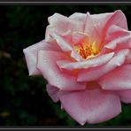 Roseiral 1