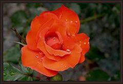 Roseiral 2