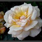 Roseiral 4