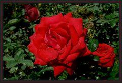 Roseiral 6