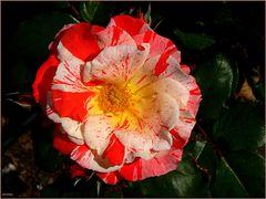 Roseiral 7