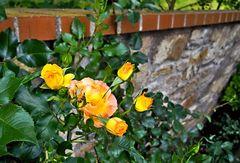 Rosen als Mauerblümchen!