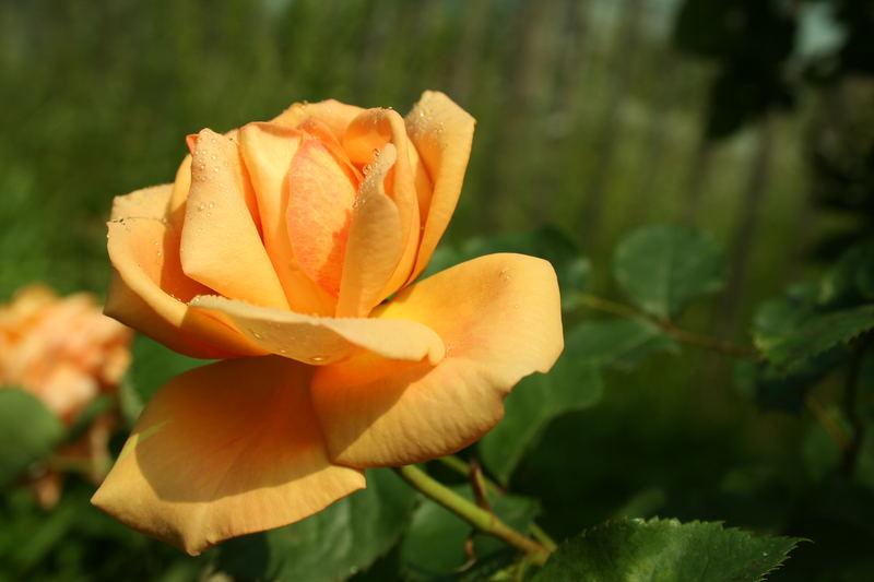 Rosen am Morgen ...