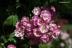 Rosen am Strauch