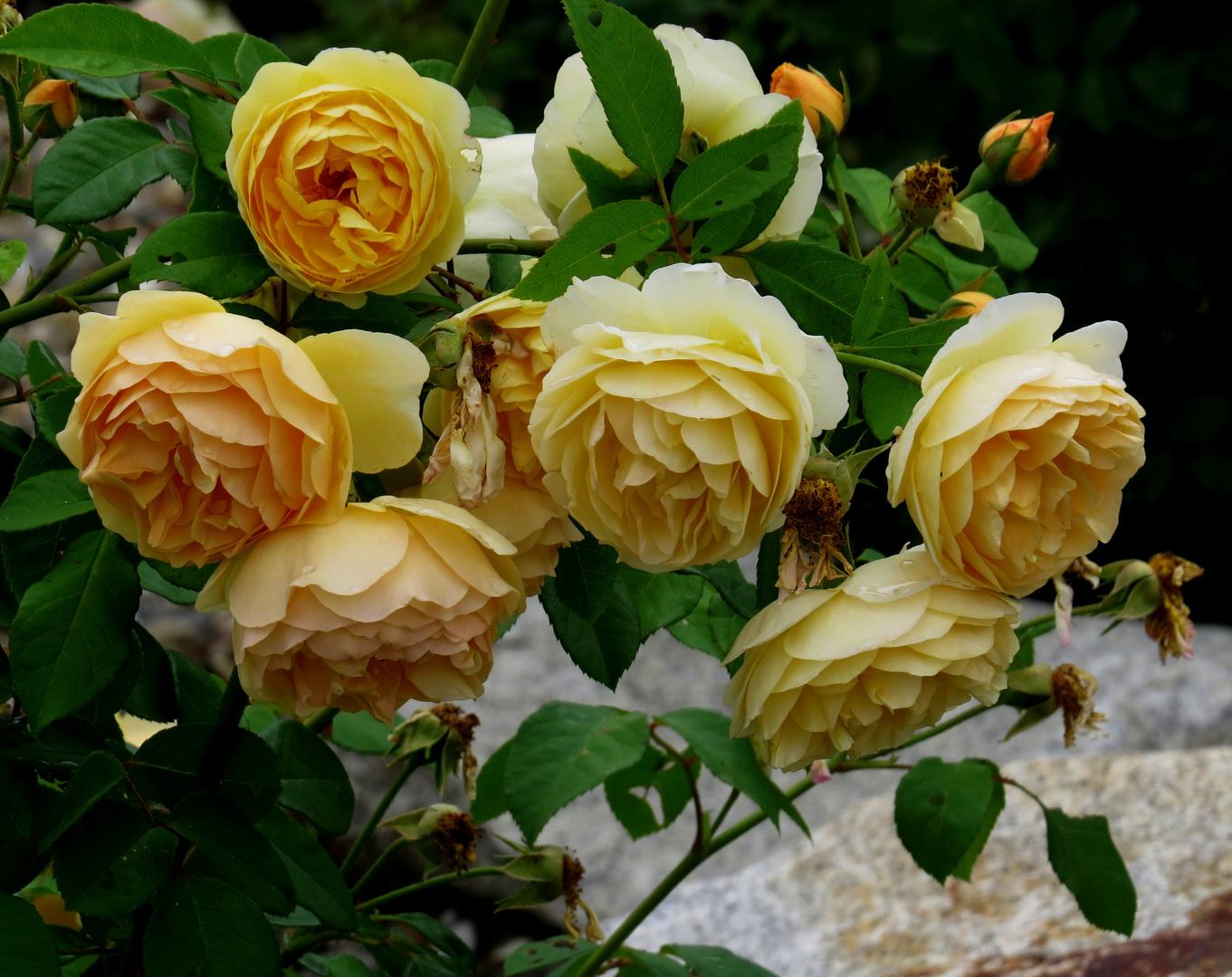 Rosen am verblühen
