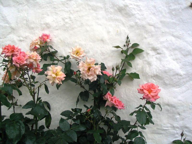 Rosen an der Klostermauer