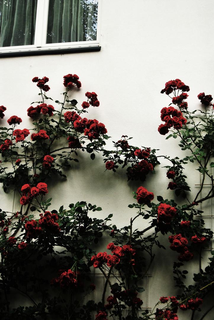 Rosen an der Wand