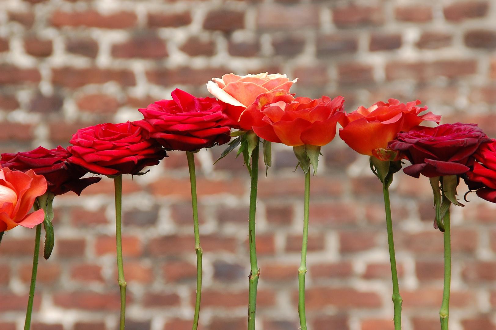 Rosen auf der Stange