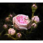 Rosen aus meinem Garten (34) .... Roses from my garden (34)