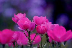 Rosen aus Nachbar's Garten.