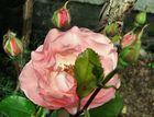 Rosen aus unserem Garten 1