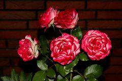 Rosen bei Nacht