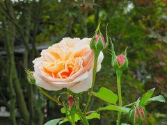 Rosen blühen noch